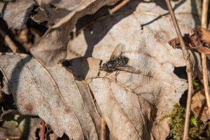 Klustervliegen plaag buiten