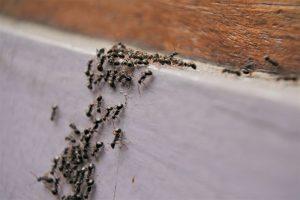 Mieren lopen in huis plaag