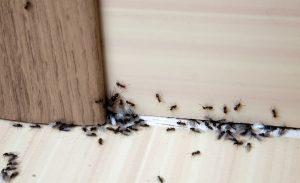 Mieren plaag in huis