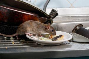 Rat zit te eten in huis