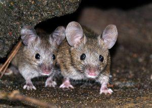 Twee muizen ongedierte